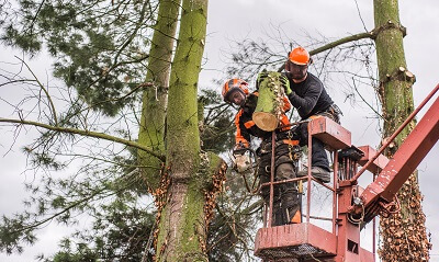 Two local tree service experts on a lift providing tree care services
